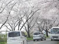 s_桜木曽岬